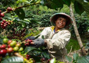 Jumiran von der Kooperative Koperasi Baithul Qiradh Baburrayyan (KBQB), Indonesia beim Ernten von Kaffeekirschen. (Fotografin: Nathalie Bertrams - Bildquelle: TransFair e.V.